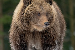 Wild brown bear cub closeup in fores