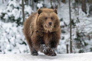 Wild brown bear cub closeup in fores