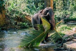 Indian elephant carries palm leaves