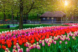 Blooming tulips and colorful flowers