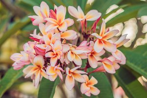 Branch of tropical pink flowers