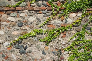 Wall with ivy