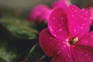 Macro Raindrops on Petals