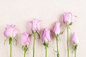 Pink Roses in a Row