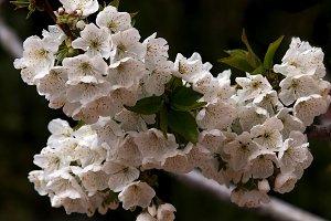 branch of cherry blossonm
