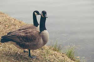 Canadian Geese by the Lake