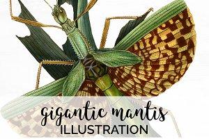 Mantis Gigantic Vintage Watercolor