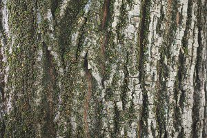 Tree bark with moss