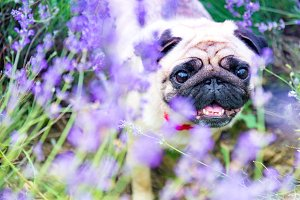 charming puppy of the pug rests on f