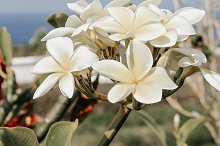 Plumeria flowers by  in Nature