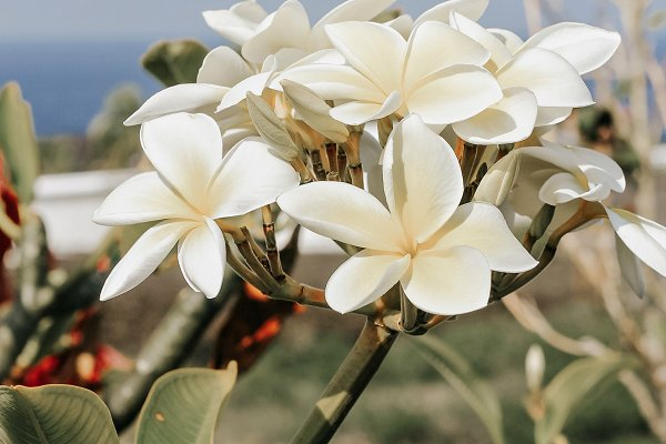 Stock Photos: Emily Sweeten Photography - Plumeria flowers