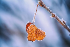 Yellow leaf covered with winter rime
