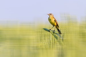 yellow bird sits on a new wheat