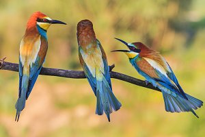 scandal of three birds sitting on a