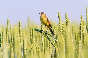 yellow wagtail sitting on ears of