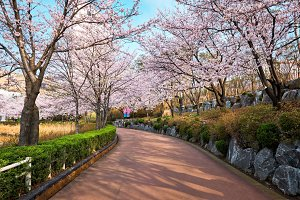Blooming sakura cherry blossom alley