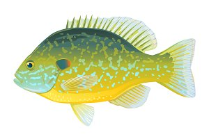 Pumpkinseed sunfish Illustration