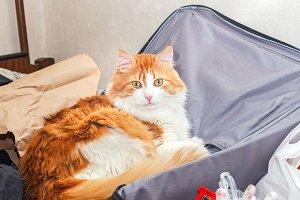 Red cat in suitcase
