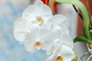 Lush inflorescence of white orchids