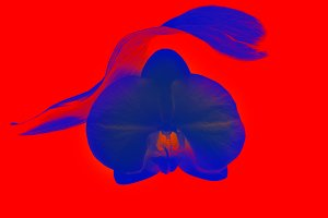 Blue futiristic orchid on red backgr