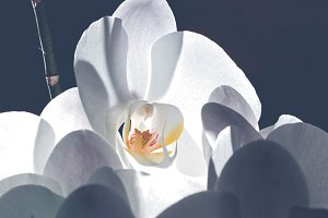 Tender orchid in dream