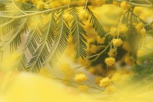 Mimosa pretty branch