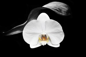 Tender orchid in mystic dream