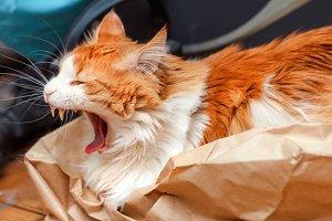 Yawning red cat