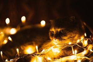 Scottish cat with Christmas lights o