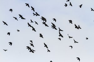 beautiful flight of rooks over the