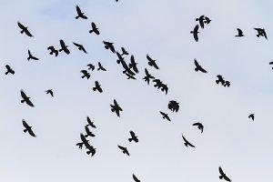beautiful flock rooks flying through