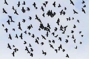 Odin birds fly in the sky
