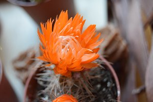 Orange Cactus