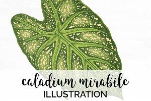 Green Leaves Caladium Mirabile