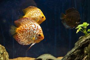 Aquarium Fish. Underwater Stones and