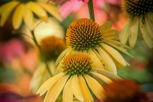 Beautiful cone flowers