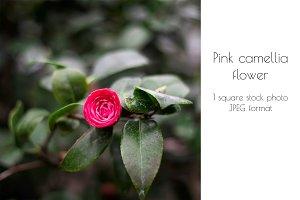 Pink camellia flower in dark green