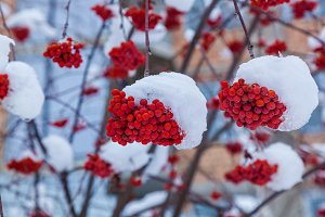bunches of red rowan in the snow