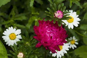 Flowers asters.