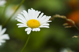 Chamomile flowers.