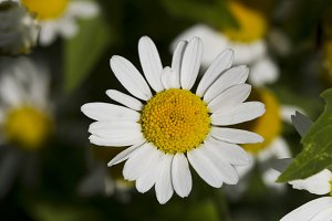 Chamomile flowers.