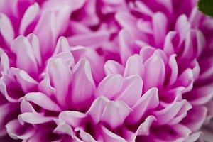 Flowers asters.