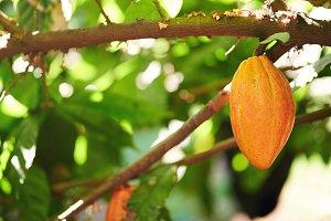 One orange color cocoa pod