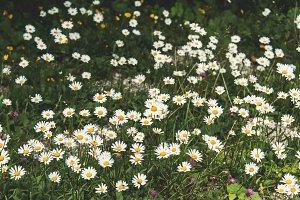 Oxeye daisy meadow in Dolomites