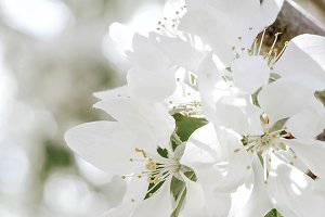 white tree blossoms on branch