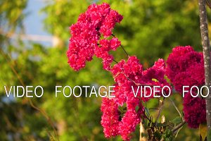 tropical pink flower Bougainvillea