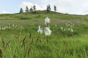 white cottongrass blooming