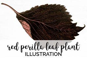 Red Leaves Perilla Leaf Plant