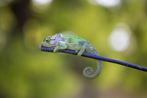 Chameleon on green background