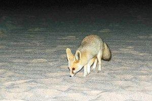 Night portrait of fennec fox in Whit